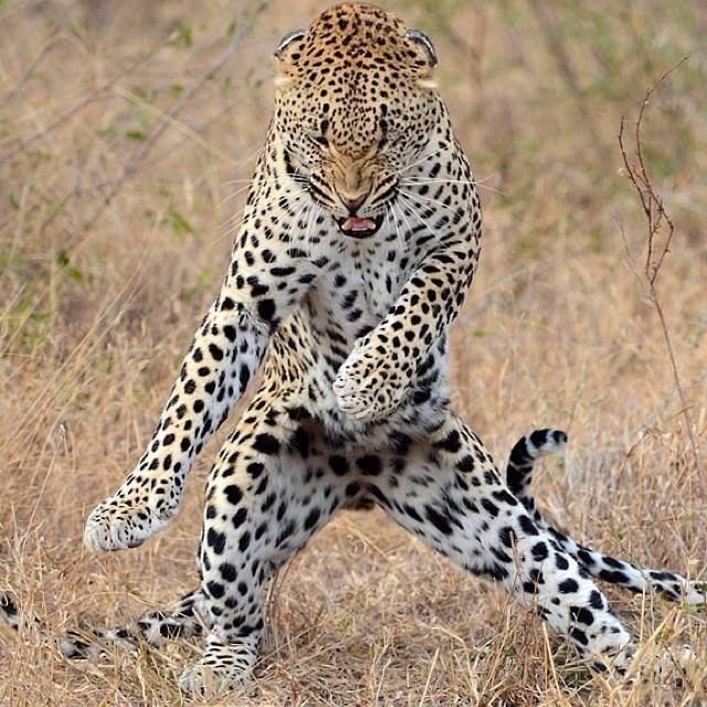 dancing jaguar graphic